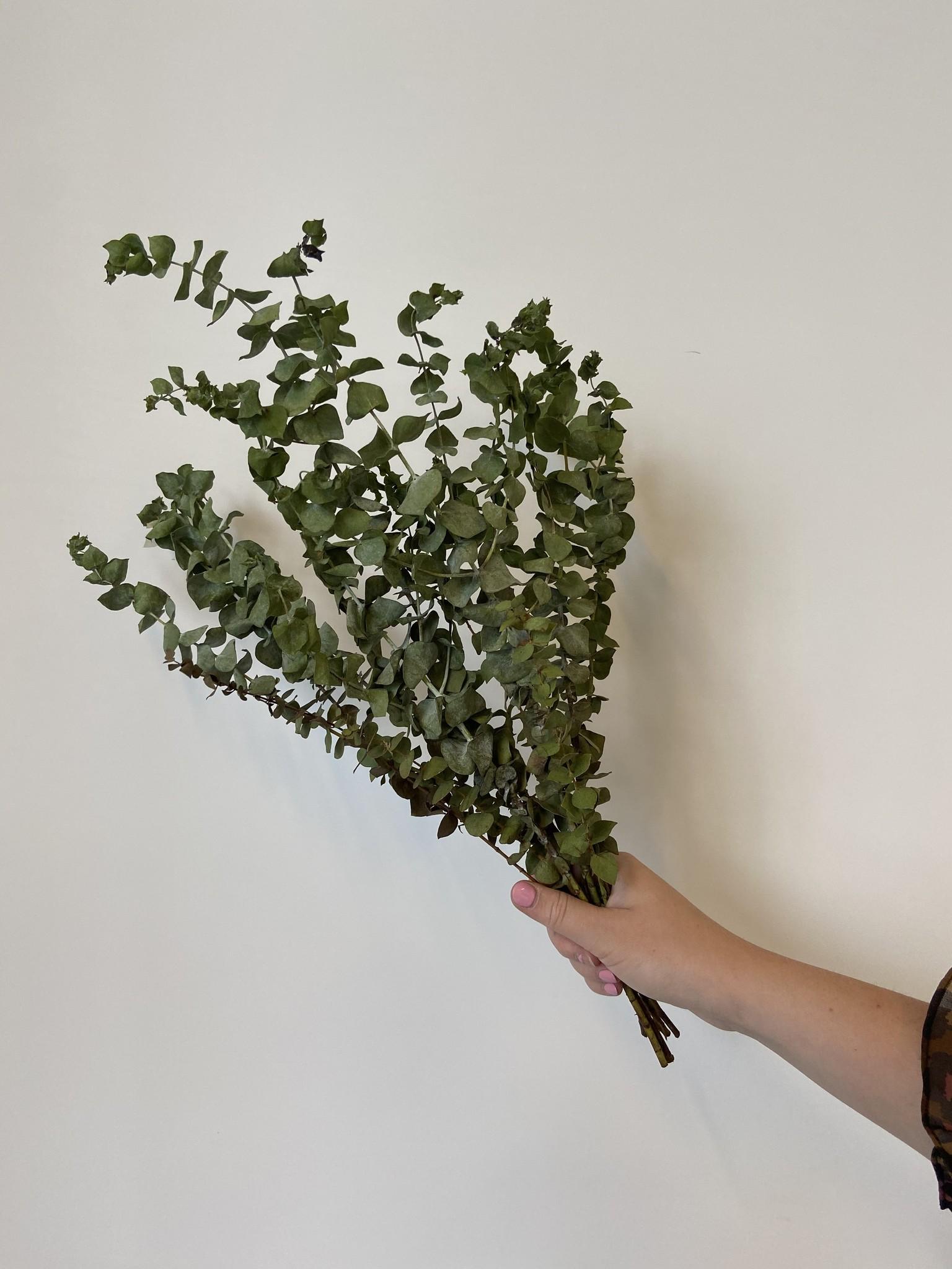 Eucalyptus CINEREA-1