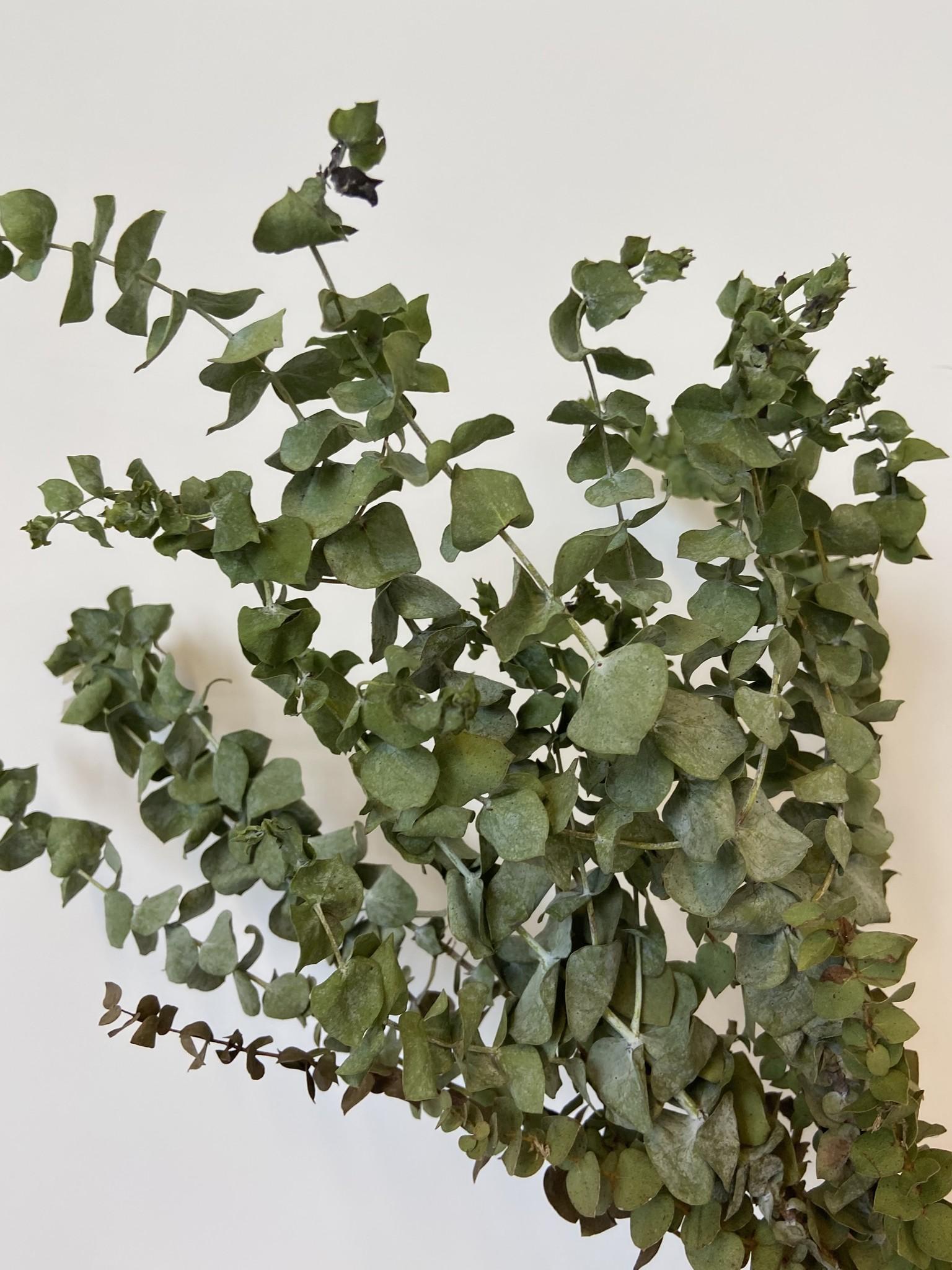 Eucalyptus CINEREA-2