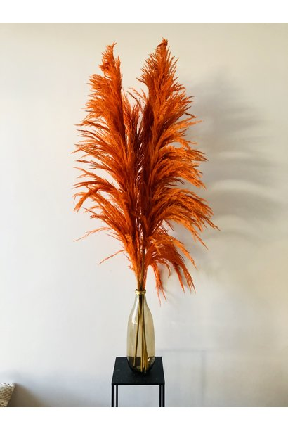 Pampas Cortaderia Oranje