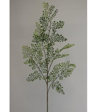 *Adiantthum fern x 5 105 cm