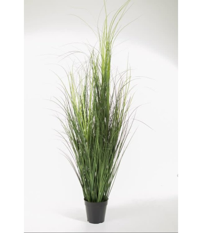 *curly grass in pot 140 cm