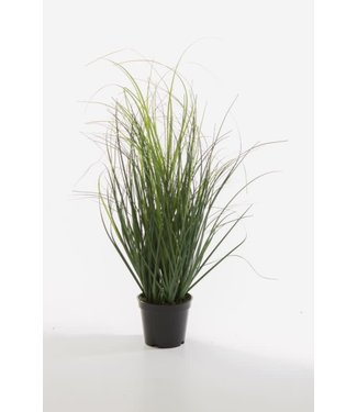 *Curly grass in pot 53 cm