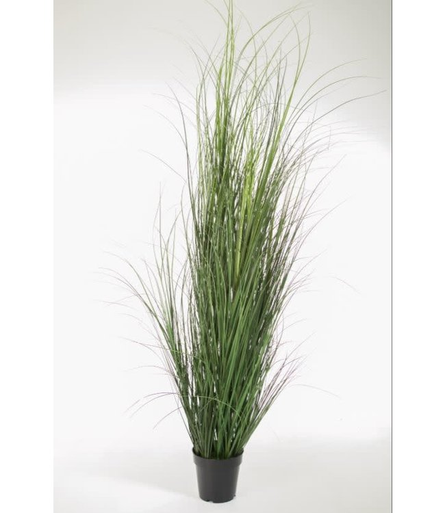 *Curly Grass in Pot 170 cm