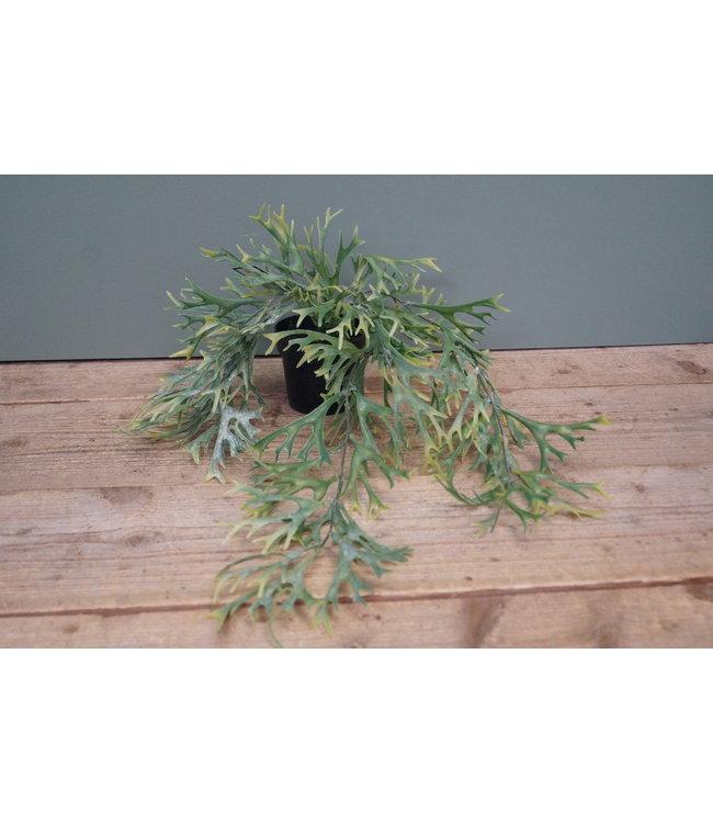 # platycerium bifurcatum groen - 40 x 40 x 20 cm