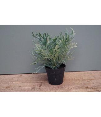 *platycerium groen
