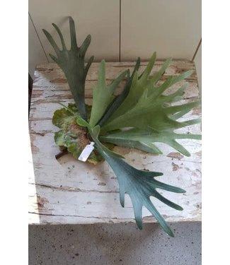 *B195 - Hertshoorn - 12 bladeren - 35 cm