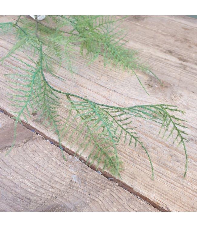 # e323 - Asparagus Fem x 5 105 cm