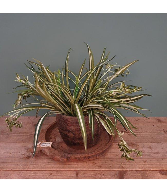 Graslelie - Spider Plant Bush H45cm D60cm - kunst