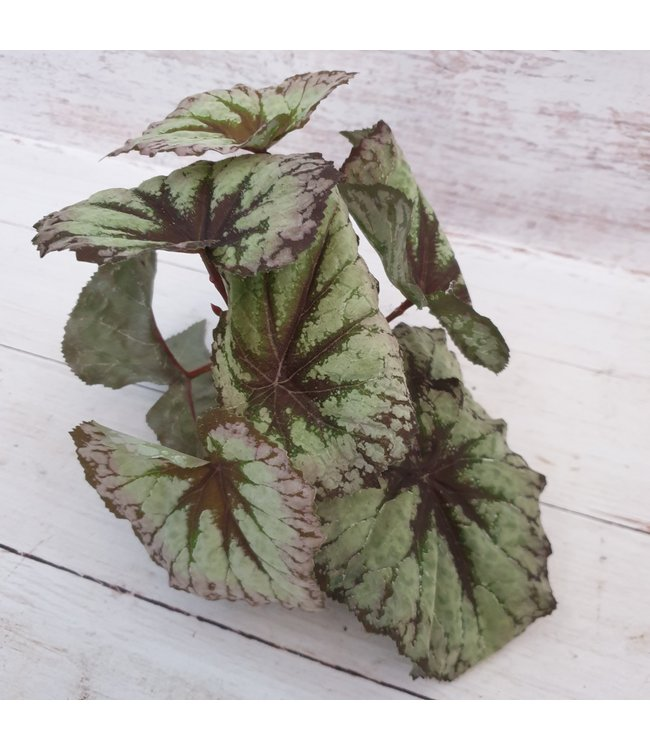 Begonia Rex groen - kunst - 24 x 28 cm
