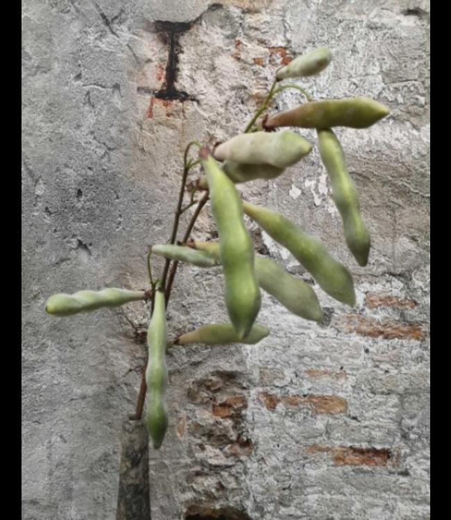 Silk beans green - 107 cm