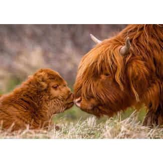 Omega Fotografie Tuinposter Schotse hooglander 135x95 cm