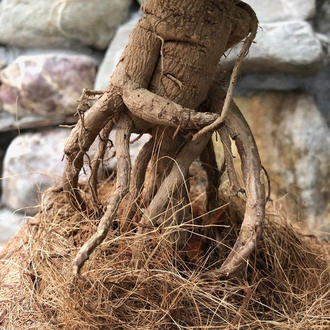 Urban Jungle bonsai box - Kokodama