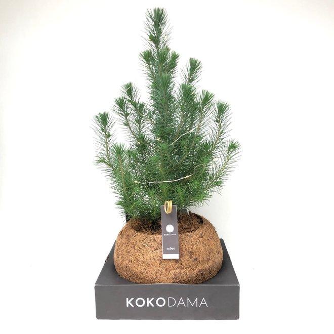 "Pinus pinea ""Silver crest""in Kokodama XXL 25 cm"