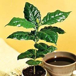 Kweek je eigen koffieplant