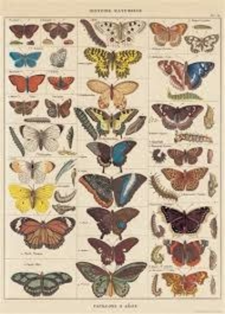 Poster «Butterfly Natural History»