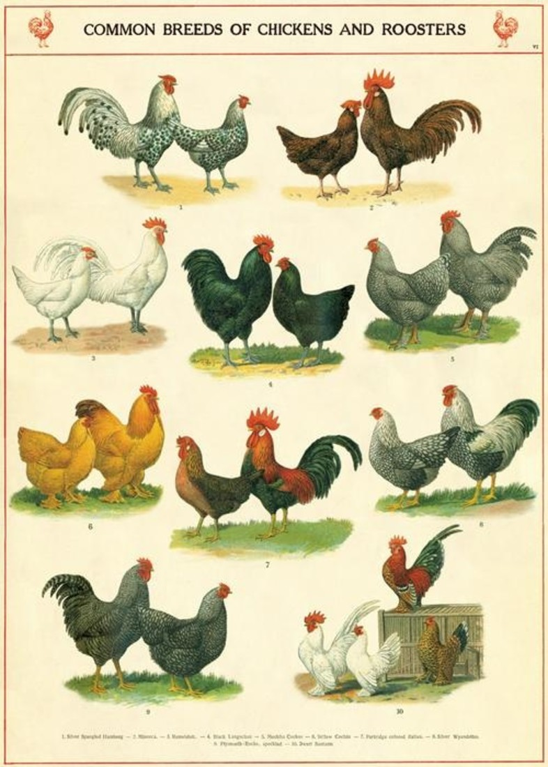 Poster «Chickens & Roosters»