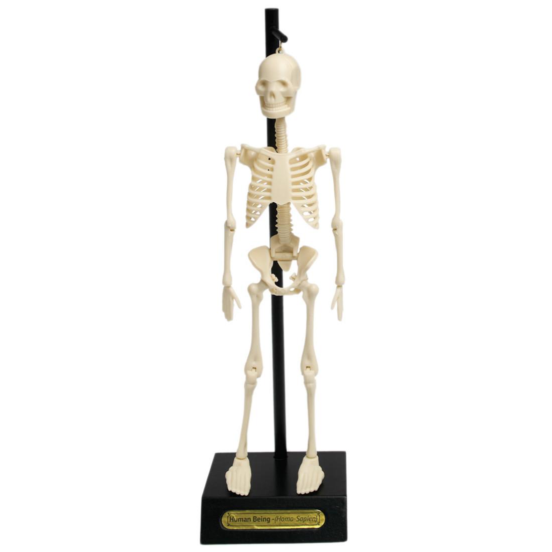 Rex International Anatomical Skeleton Model