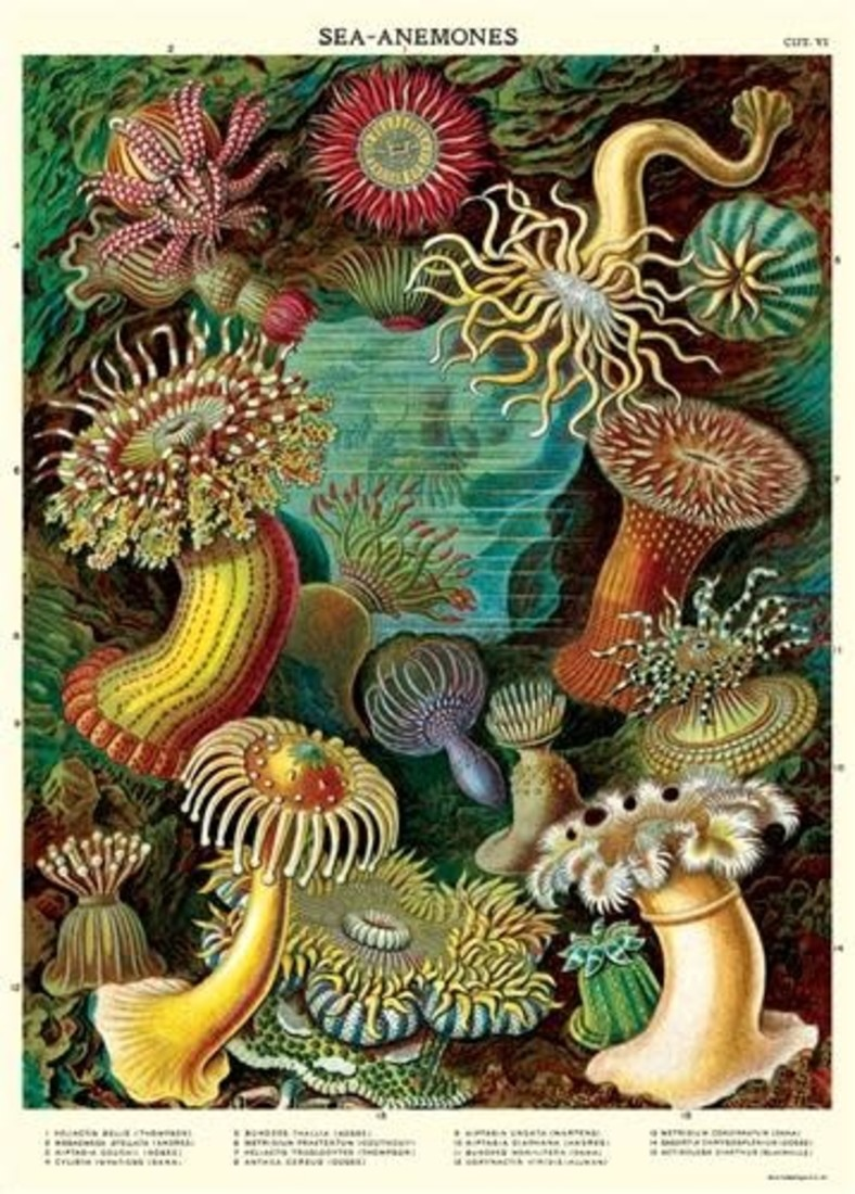 Poster Sea Anemones