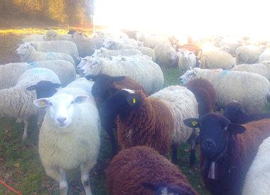 Laine de mouton en général – laine vierge