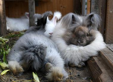 Les lapins angoras