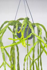 Rhipsalis paradoxa grof - Koraalcactus