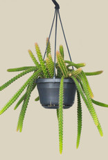 Aporocactus malisonii - Slangencactus