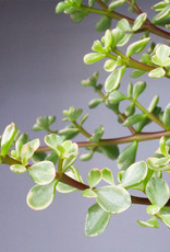Portulacaria afra variegata - Elephants bush