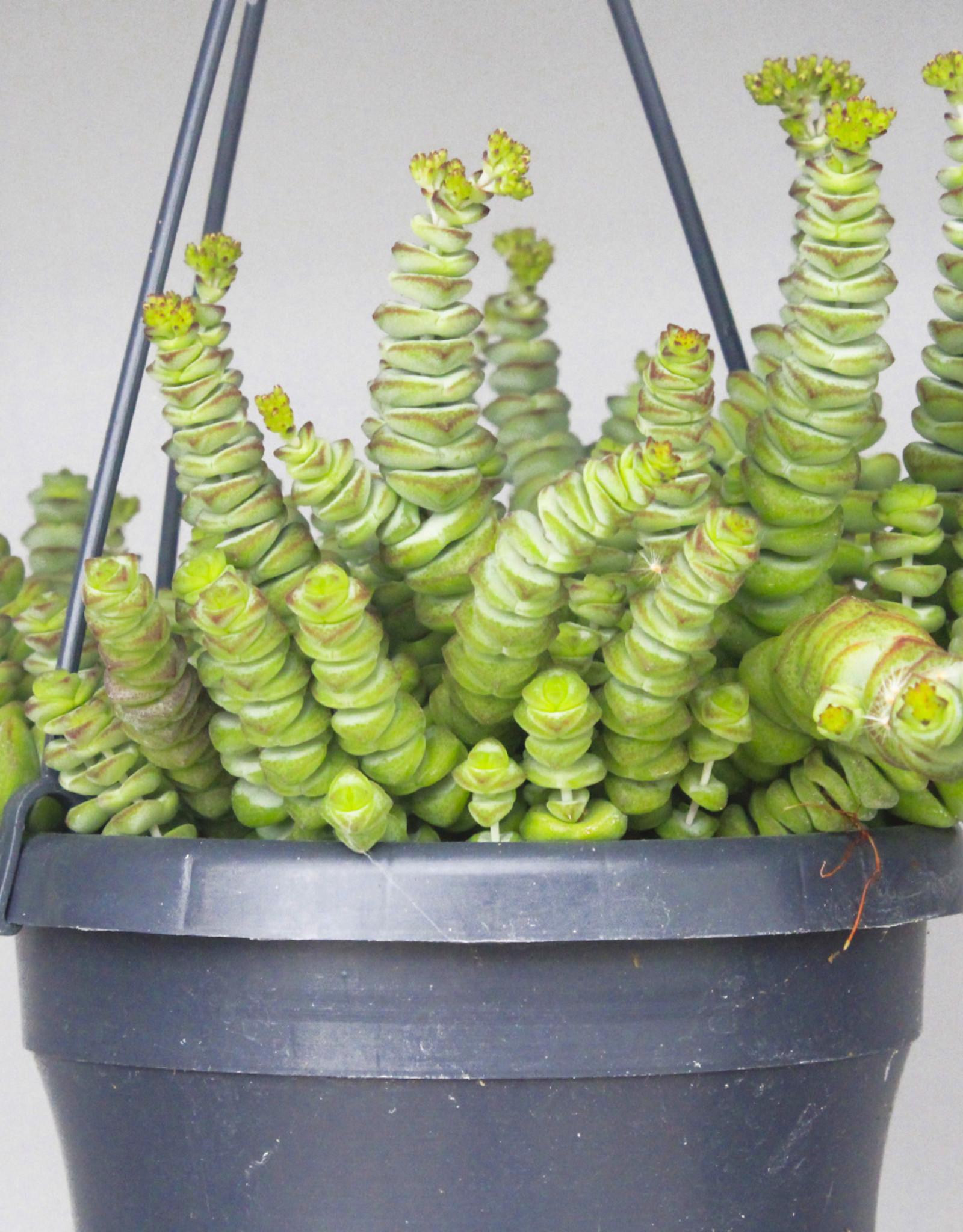 Crassula hottentot - Jade ketting