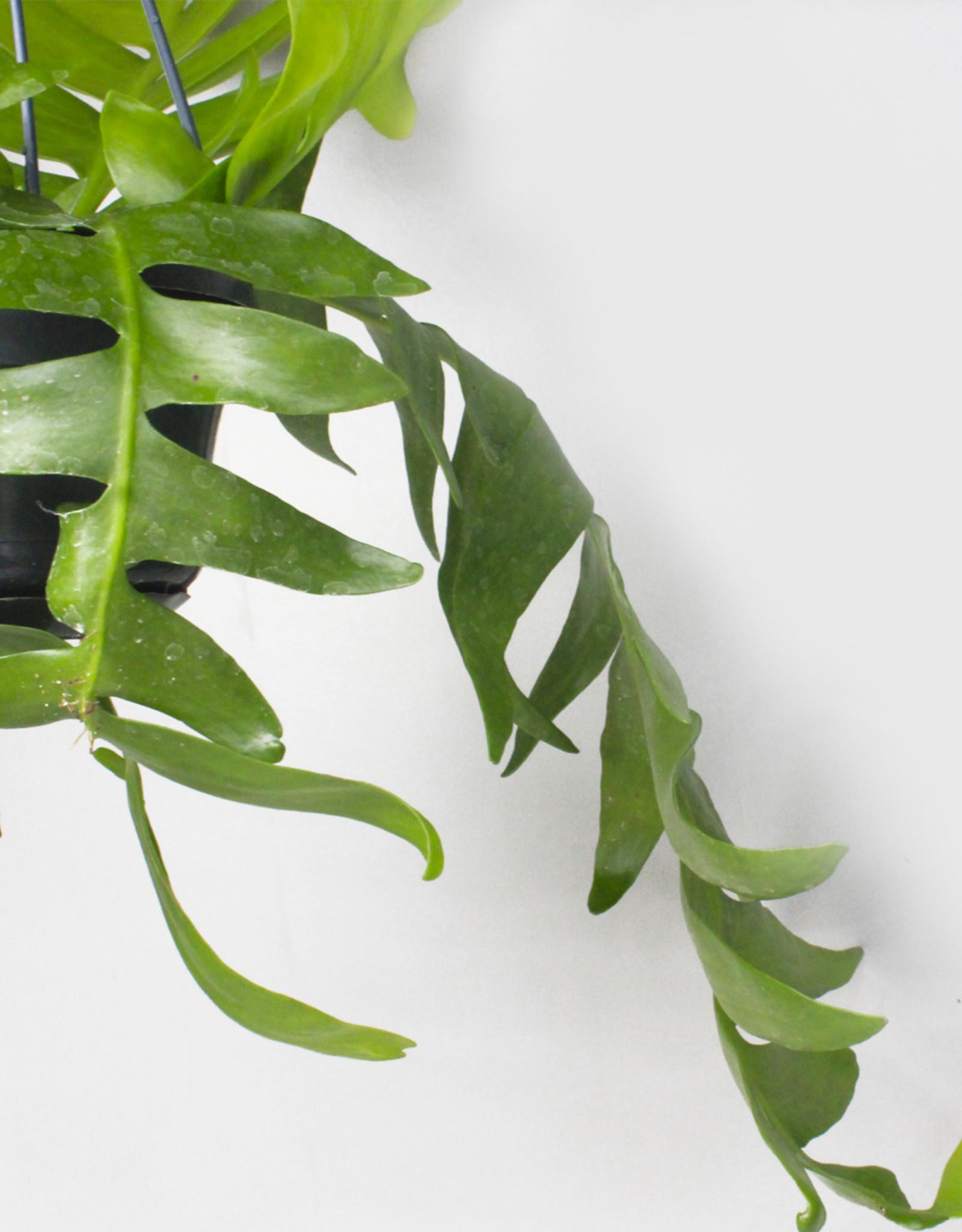 Epiphyllum chrysocardium - Varencactus