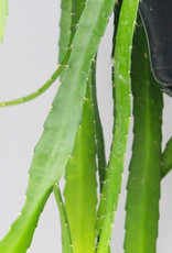 Epiphyllum red tip