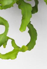 Epiphyllum guatamalensis - Krulcactus