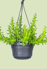 Euphorbia ellenbeckii - Octopus arms