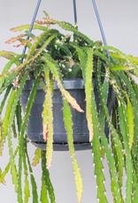 Lepismium cruciforme - Hurricane cactus