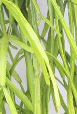 Rhipsalis micrantha - Rotscactus