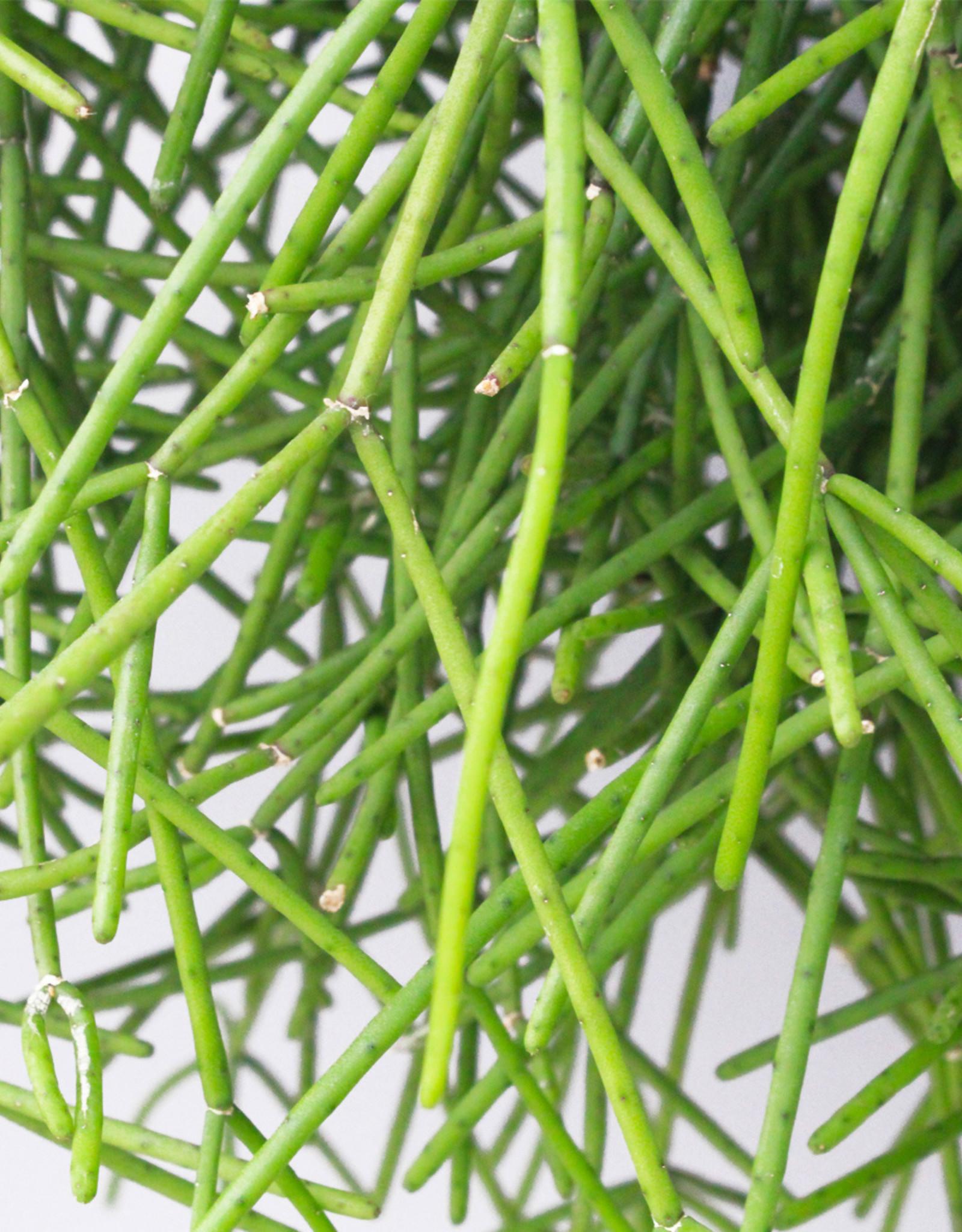 Rhipsalis neves amondii - Koraalcactus