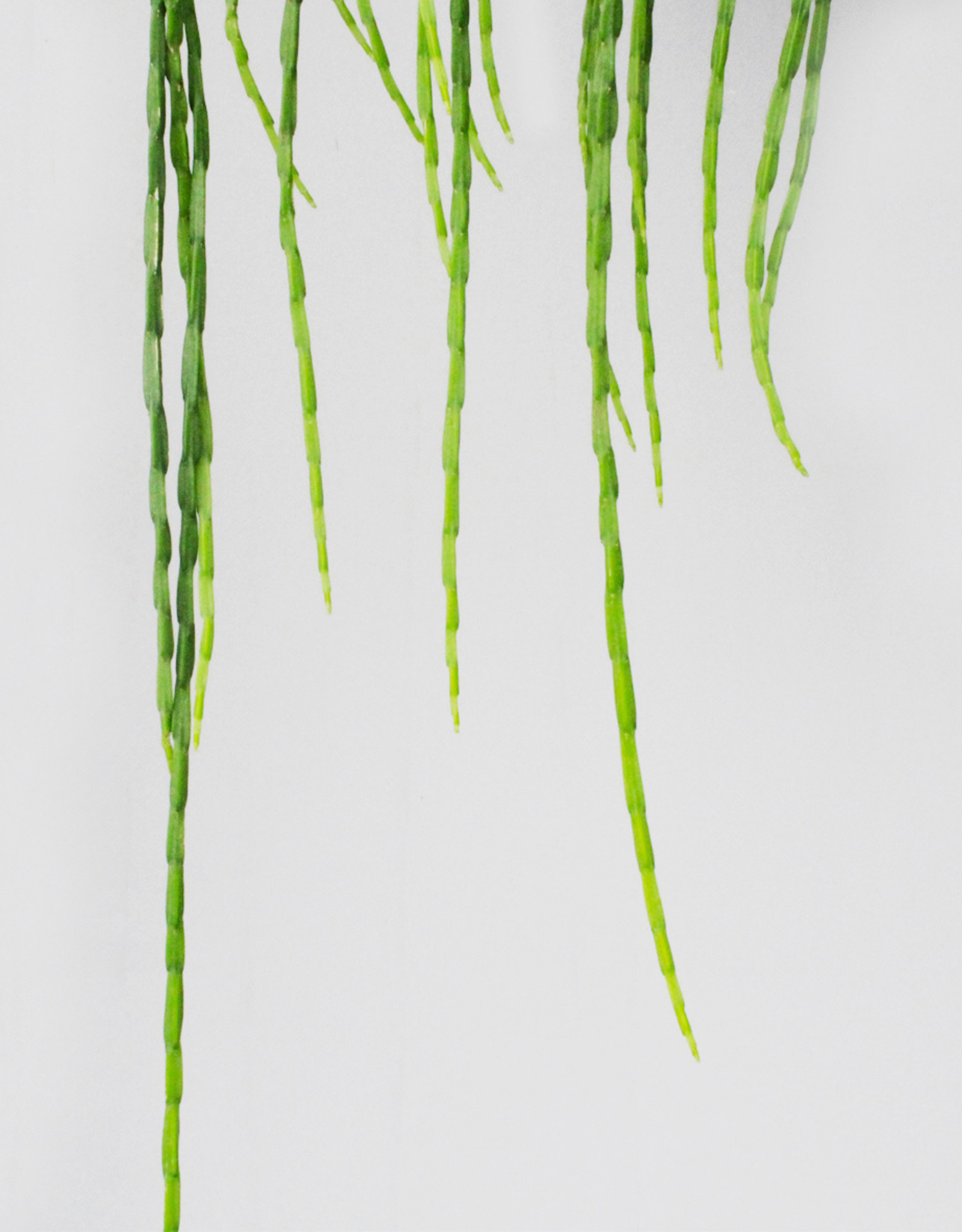 Rhipsalis paradoxa fijn - Koraalcactus