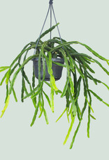 Rhipsalis pentoptera