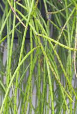 Rhipsalis puniceodiscus -Spaghetti plant