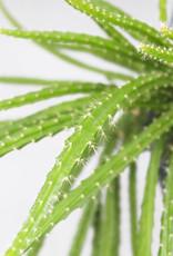 Aporocactus Melanie - Staart cactus