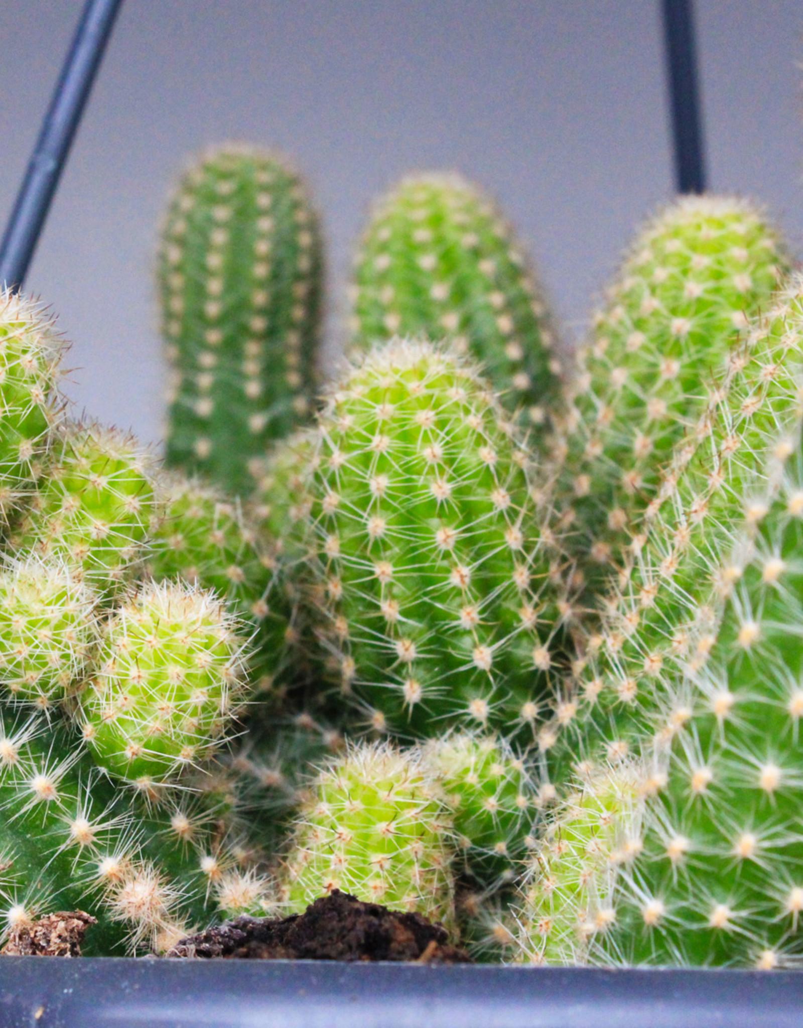 Chamaelobivia hybrid - Peanut Cactus
