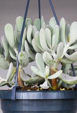 Cotyledon orbiculata 'silver peak' - Pig's Ear