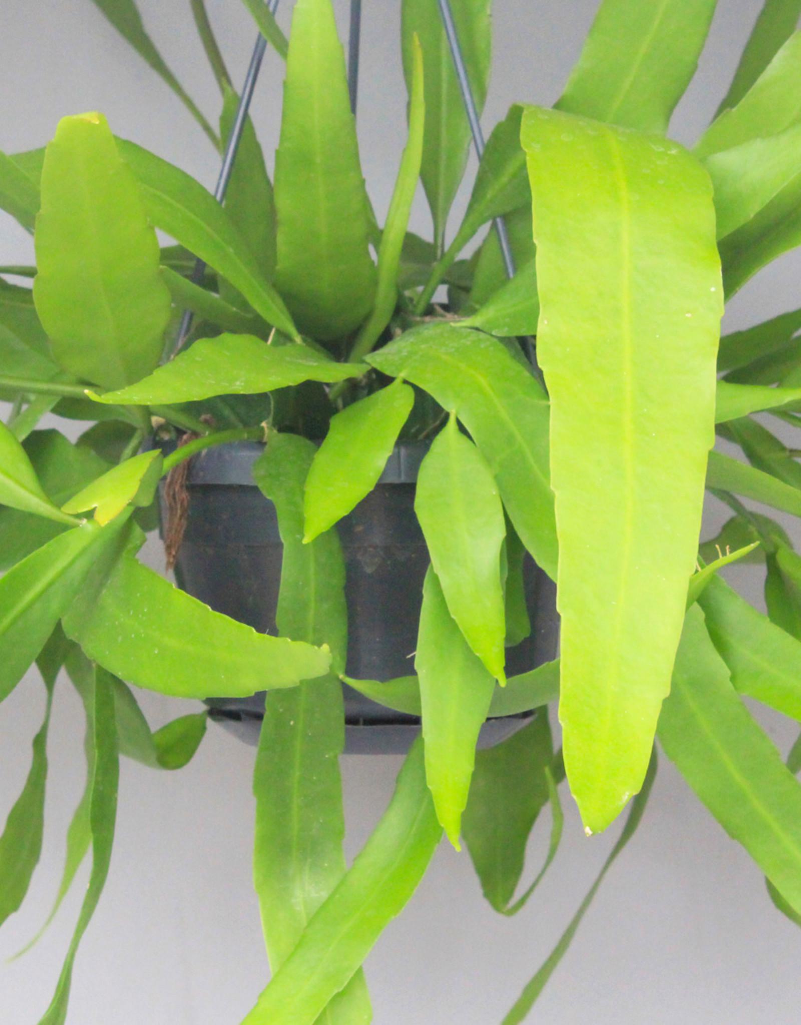 Epiphyllum pumilum - bladcactus