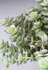 Crassula hottentot special - Jade ketting