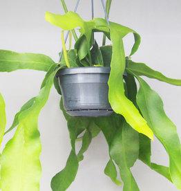 Epiphyllum oxypethalum