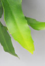 Epiphyllum oxypethalum - Queen of the night