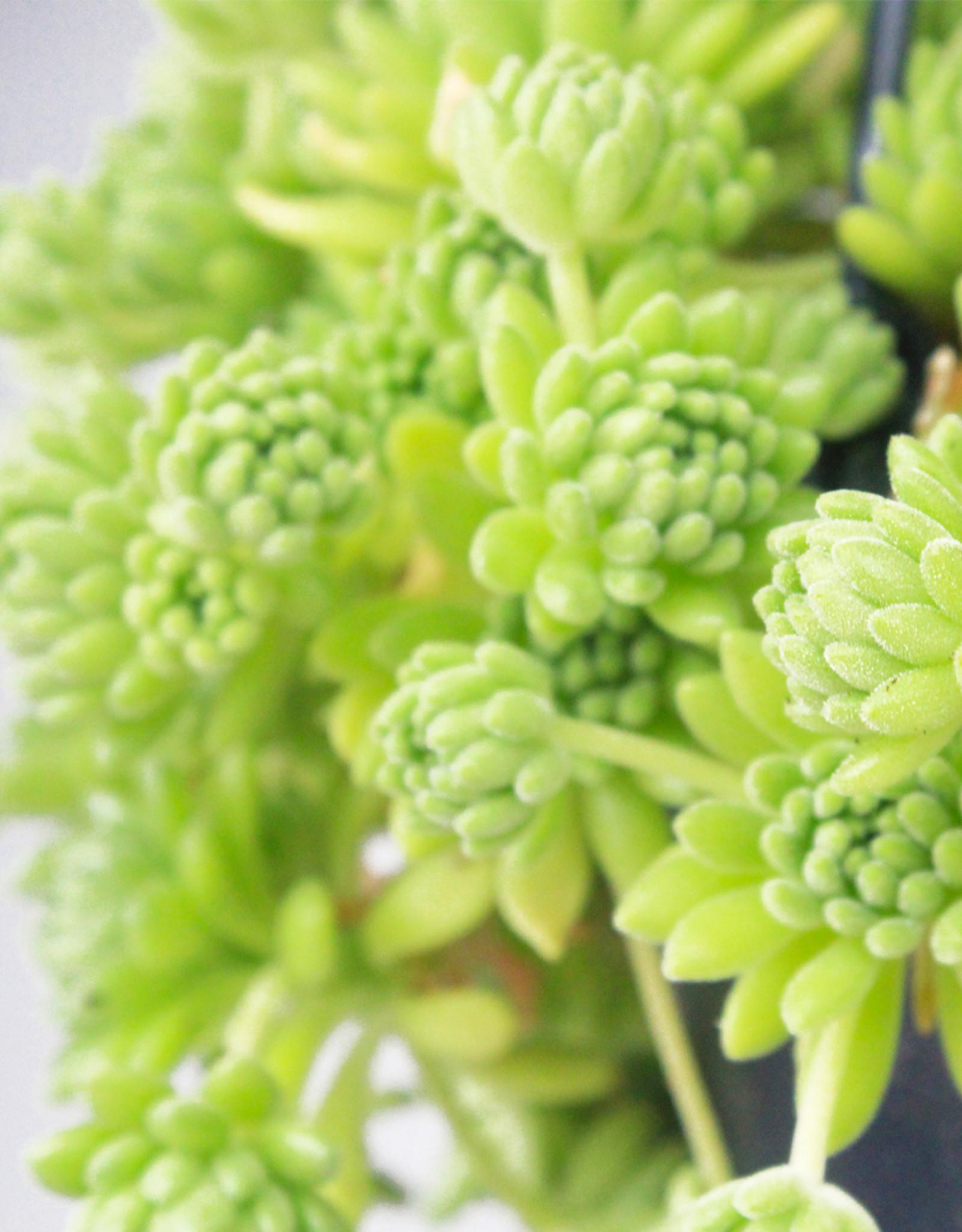 Sedum hirsutum - Stonecrop vetplant