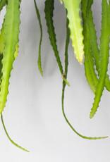 Epiphyllum Dietmar Paetz