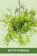 Rhipsalis ewaldiana - Mistletoe Cactus