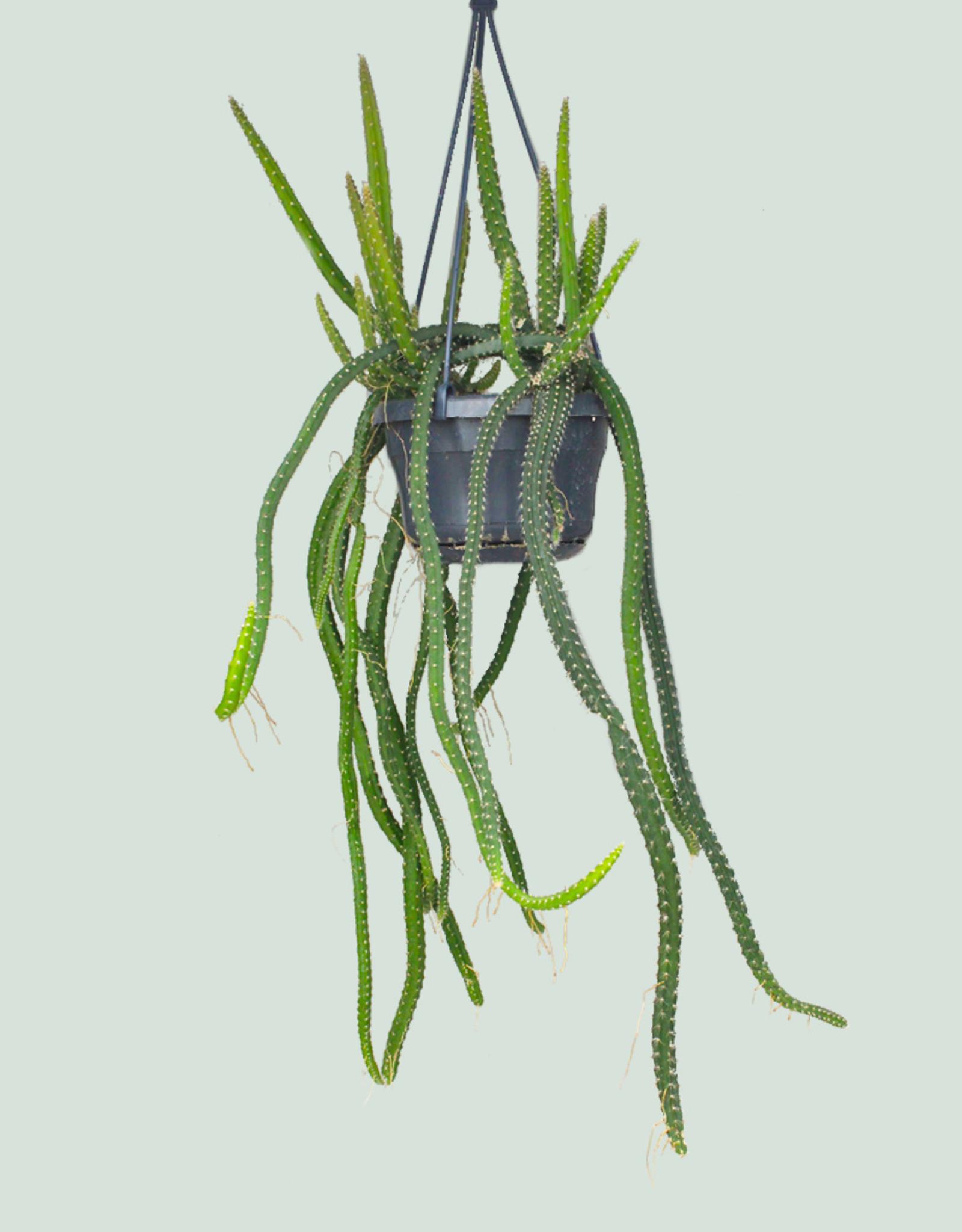 Selenicereus grandiflorus - Queen of the night