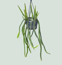 Selenicereus grandiflorus 'Queen of the night'